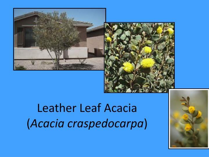 Leather Leaf Acacia