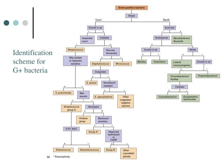 Identification scheme for G+ bacteria