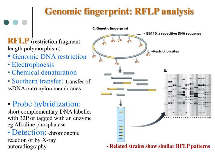 Genomic fingerprint: RFLP analysis