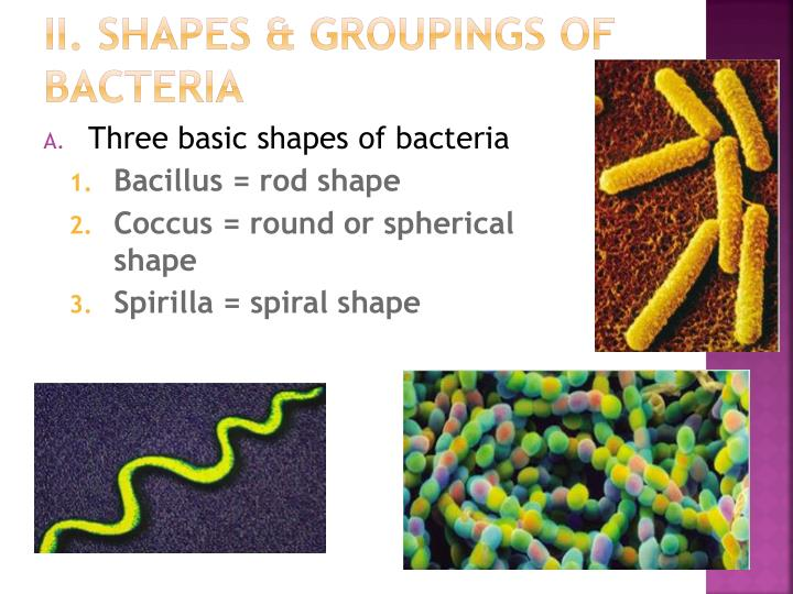 II. Shapes & Groupings of bacteria