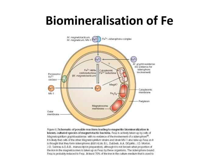 Biomineralisation of Fe