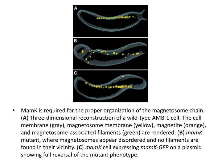 MamK is required for the proper organization of the magnetosome chain. (