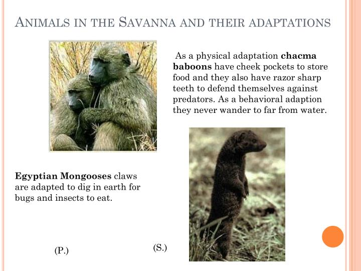 Animals in the savanna and their adaptations