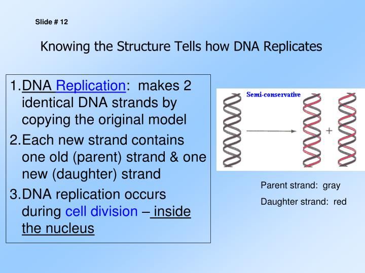 Knowing the Structure Tells how DNA Replicates