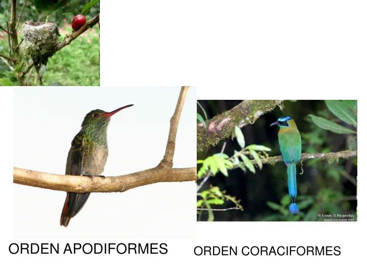 ORDEN APODIFORMES