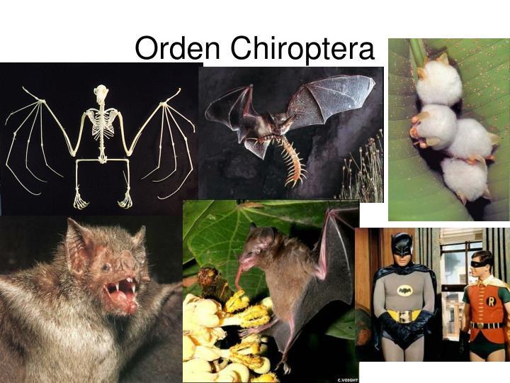 Orden Chiroptera