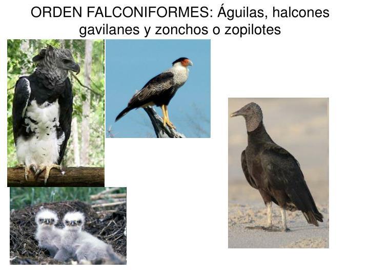 ORDEN FALCONIFORMES: Águilas, halcones gavilanes y zonchos o zopilotes