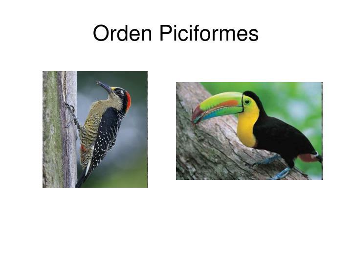 Orden Piciformes