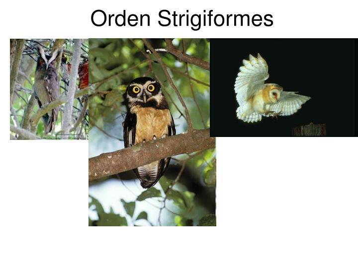Orden Strigiformes