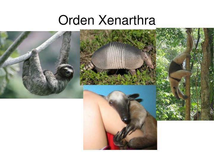 Orden Xenarthra