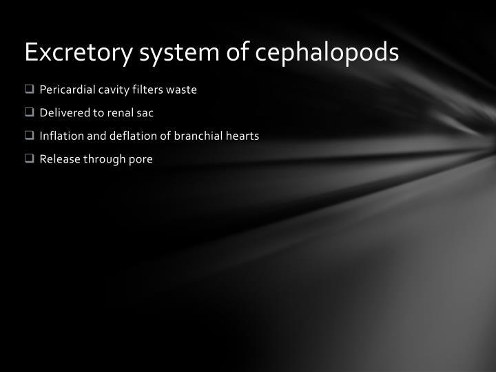 Excretory system of cephalopods