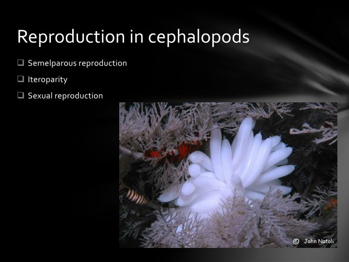 Reproduction in cephalopods