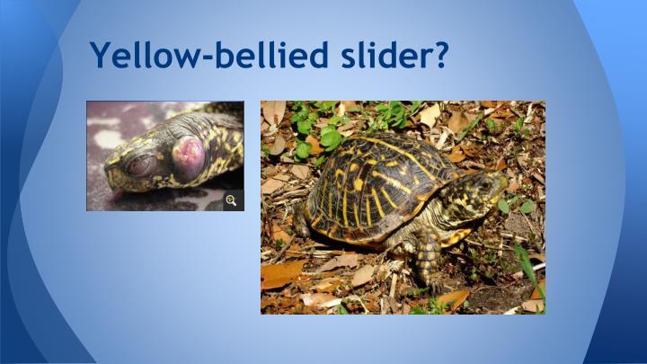 Yellow-bellied slider?