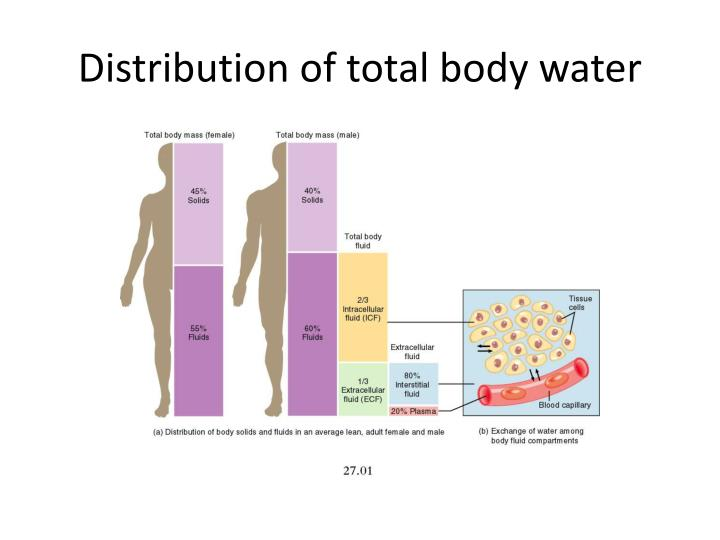 Distribution of total body water