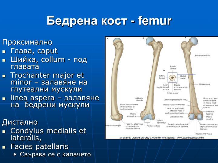 Бедрена кост -