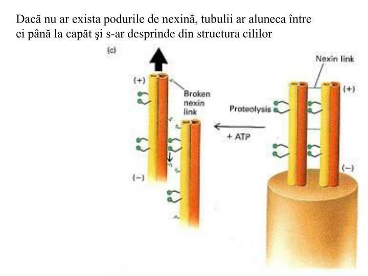 Dacă nu ar exista podurile de nexină, tubulii ar aluneca între ei până la capăt şi s-ar desprinde din structura cililor