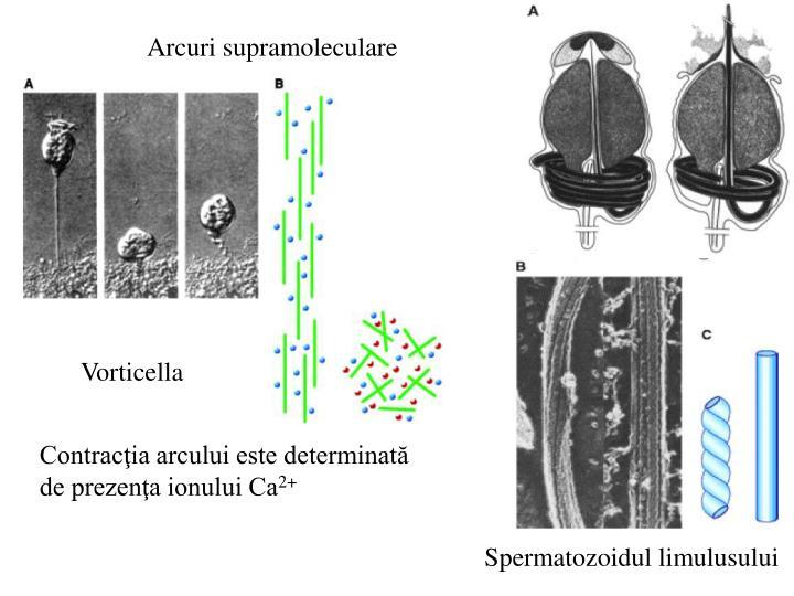 Arcuri supramoleculare