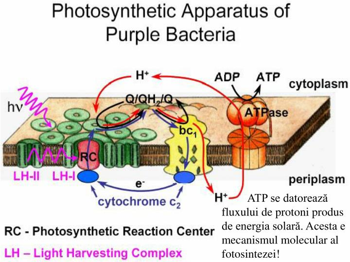 ATP se datorează fluxului de protoni produs de energia solară. Acesta e mecanismul molecular al  fotosintezei!
