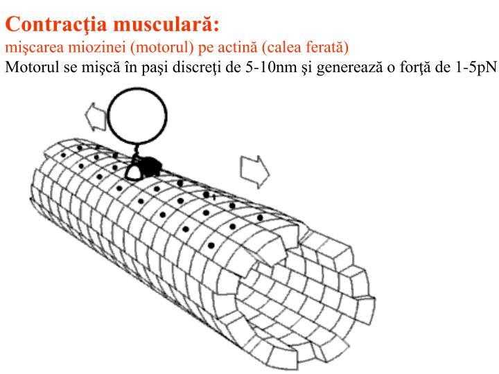 Contracţia musculară: