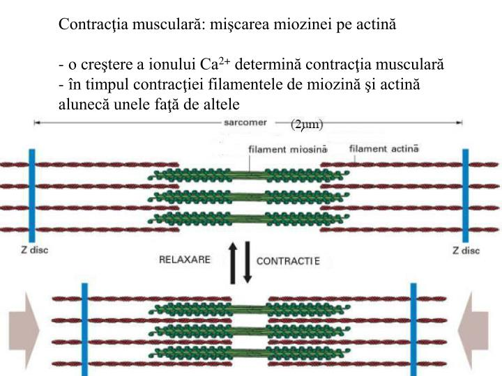 Contracţia musculară: mişcarea miozinei pe actină