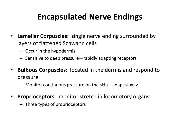 Encapsulated Nerve Endings