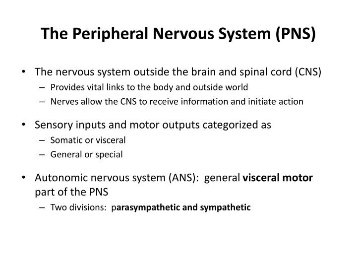 The peripheral nervous system pns