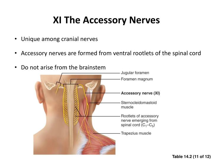 XI The Accessory Nerves
