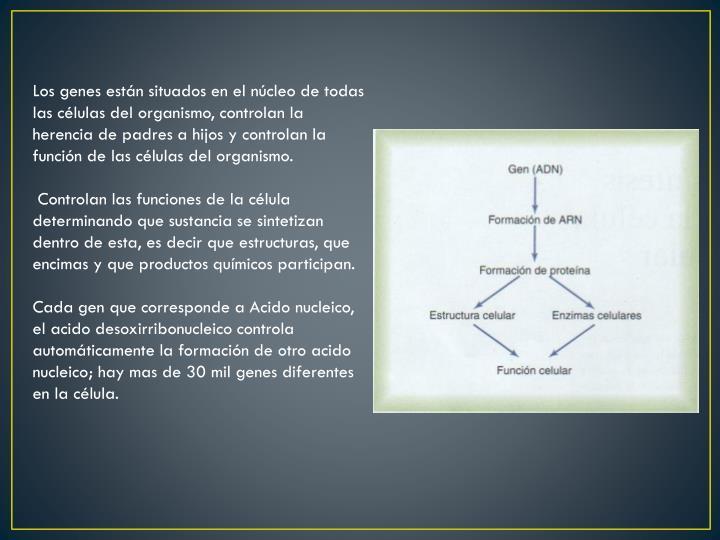 Los genes están situados en el núcleo de todas las células del organismo, controlan la herencia d...
