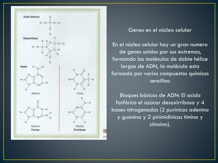 Genes en el núcleo celular