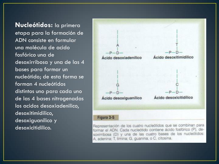 Nucleótidos: