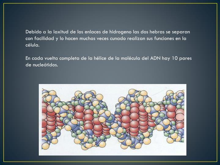 Debido a la laxitud de los enlaces de hidrogeno las dos hebras se separan con facilidad y lo hacen muchas veces cunado realizan sus funciones en la célula.