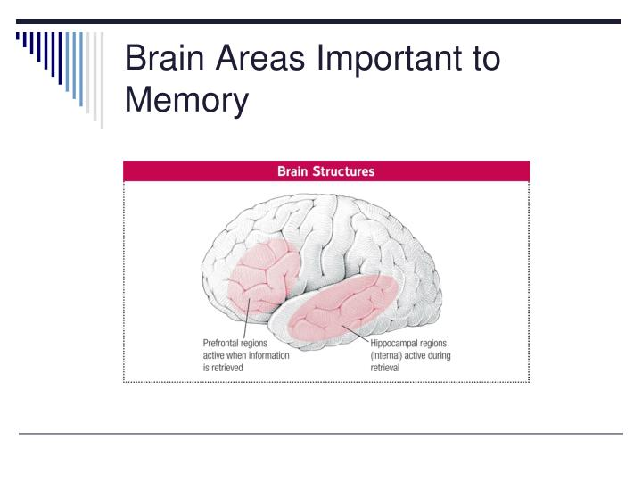 Brain areas important to memory
