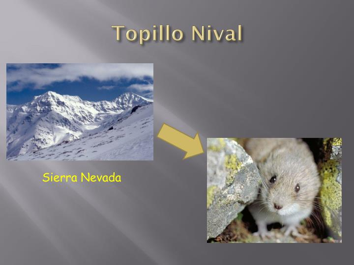 Topillo