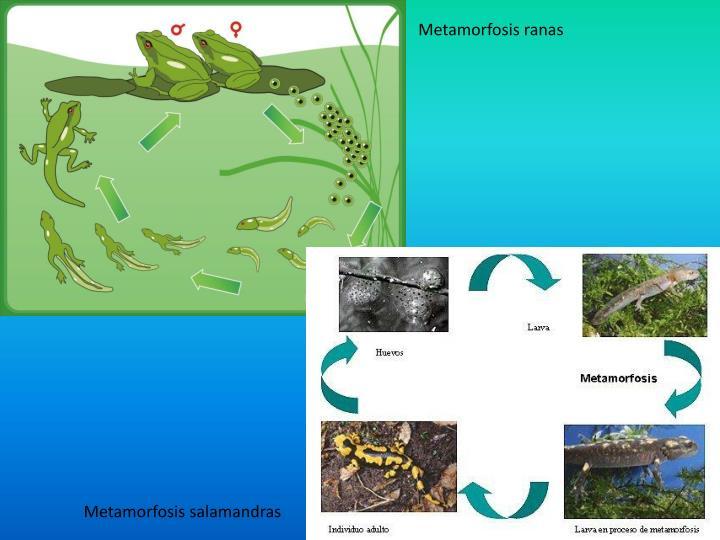 Metamorfosis ranas