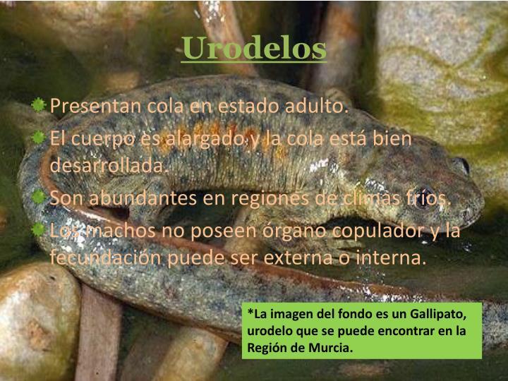 Urodelos