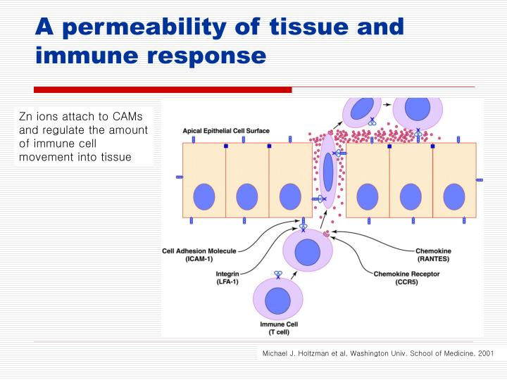 A permeability of tissue and immune response