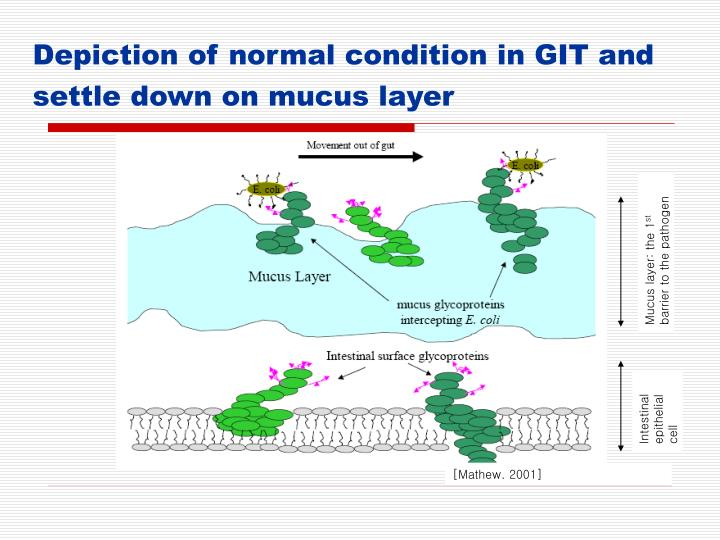 Mucus layer: the 1