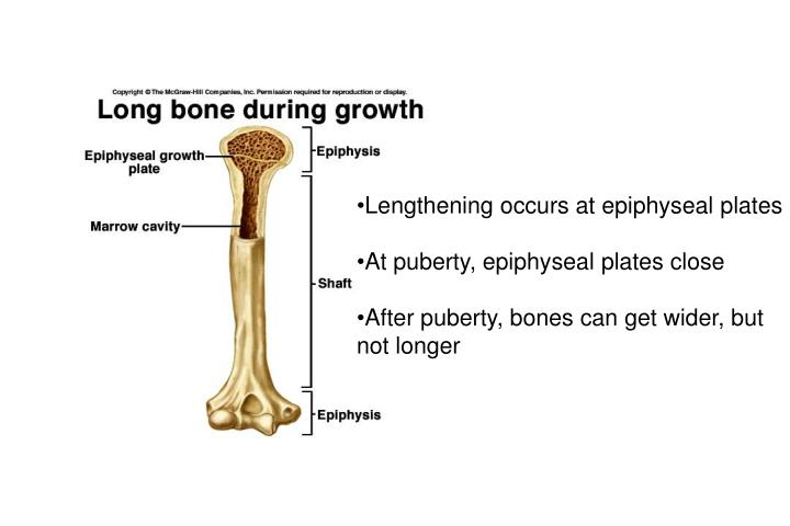 Lengthening occurs at epiphyseal plates