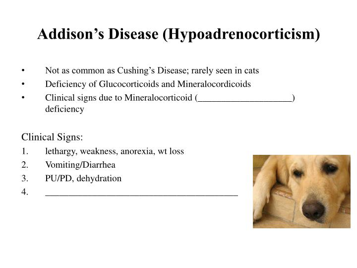 Addison's Disease (Hypoadrenocorticism)
