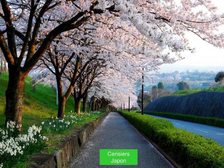 Cerisiers          Japon