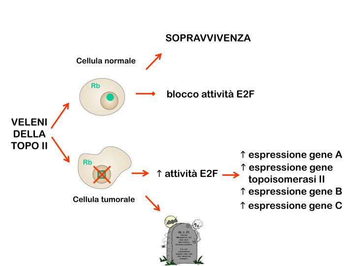 Cellula normale