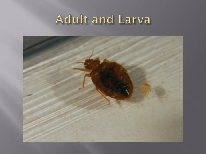 Adult and Larva