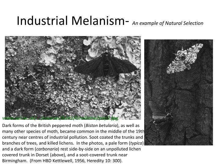 Industrial Melanism-
