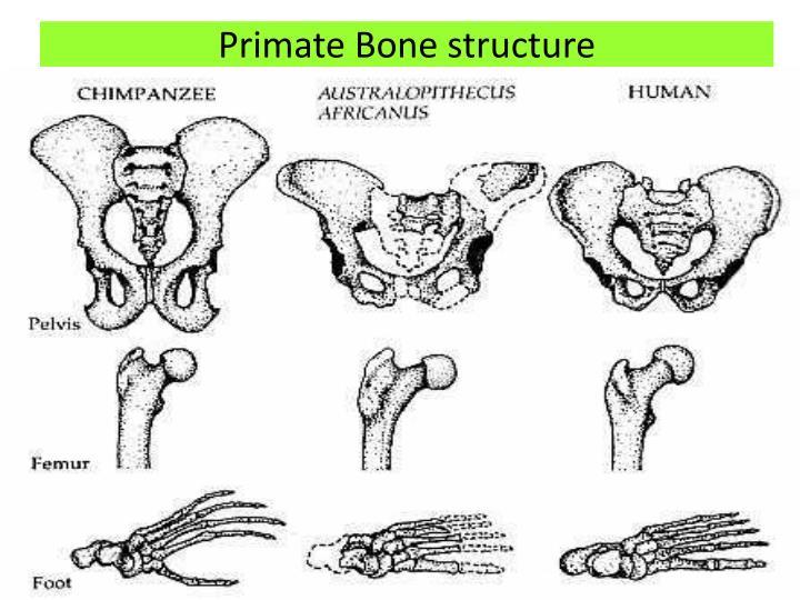 Primate Bone structure
