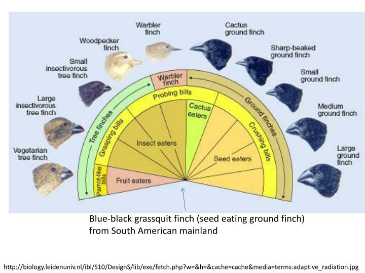 Blue-black grassquit finch (seed eating ground finch)