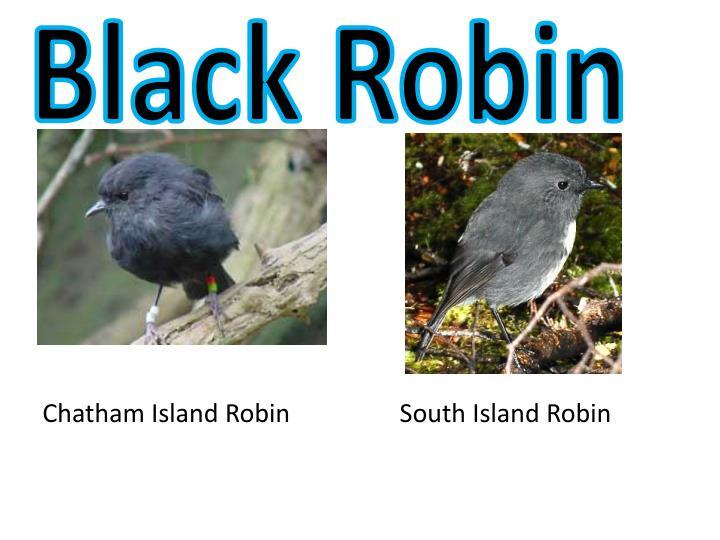 Black Robin