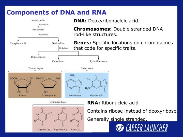 Components of DNA and RNA