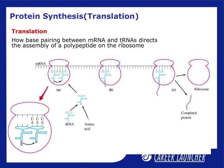 Protein Synthesis(Translation)