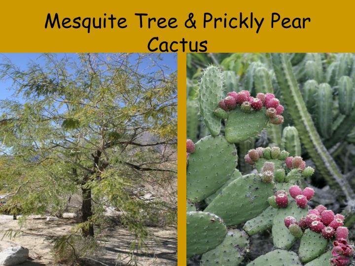 Mesquite Tree & Prickly Pear Cactus