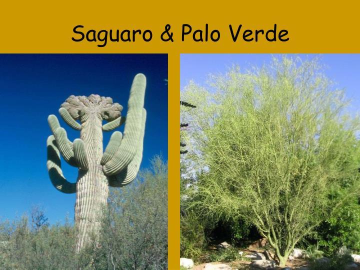 Saguaro & Palo Verde